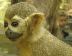 Monkey (Greenwise) Tags: museum tring zoological zsl