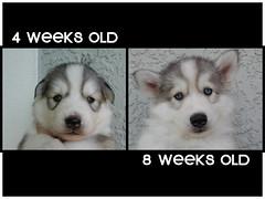 HELP name my PUPPY! (Scott Kinmartin) Tags: dog puppy tank name siberianhusky beast huskypuppy huskimo