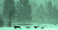 The Call of the Wild............ (LaTur) Tags: snow montana wildlife missoula theperfectphotographer