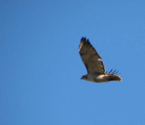 kestrel in flight forest park 100208