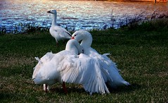 fight... (Red Rooster...) Tags: nature birds geese fight goose houstonist armandbayou onlythebestare publandsnw11