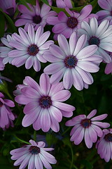 Flowers (Baab1) Tags: flowers daisies maryland wildflowers mothersday springtime dlux purples southernmaryland calvertcountymaryland mywinners leicadlux3 aplusphoto huntingtownmaryland ourmasterpieces qualitypixels