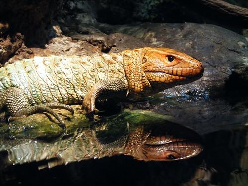 [フリー画像] 動物, 爬虫類, トカゲ, ガイアナカイマントカゲ, 201004211700