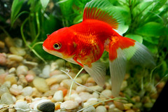 (kennykilla) Tags: red fish aquarium cap