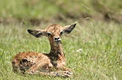 Newborn (Lyndon Firman) Tags: baby kenya fawn impala masaimara naturesfinest impressedbeauty