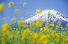 Mt.Fuji with blossoms (miwa**) Tags: 2002 moon mountain flower film nature yellow japan spring nikon fuji velvia mountfuji fujisan f80 nikkor fujichrome  mtfuji yamanashi fujiyama rvp miwa naturesfinest 70300mmf456d anawesomeshot suitableforframing superbmasterpiece