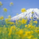 Mt.Fuji with blossoms