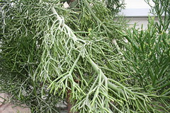 IMG_4690 (mhaw) Tags: flowers cactus flower garden washingtondc dc botanicalgarden natio nationalbotanicalgarden