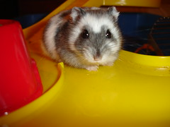 Russian Dwarf Hamster by cdrussorusso, on Flickr