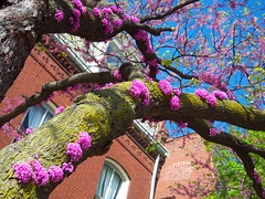 Old North is blooming (by: Claire Nowak-Boyd)