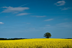 Beneath The Blue Sky (Philipp Klinger Photography) Tags: blue sky tree yellow clouds countryside spring may seed poland rape lonely philipp gra klinger zielona lubuskie sulechw babimost dcdead wojewdstwo
