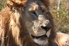 Lions series - Rhino & Lion Park (hannes.steyn) Tags: africa nature animals canon southafrica northwest wildlife lions mammals reserves predators krugersdorp 450d noti500 rhinolionpark photofaceoffwinner hannessteyn pfosilver canonefs55250mmf456isusm eosdigitalrebelxsi