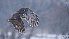 Great Grey Owl in Flight (Raymond J Barlow) Tags: owl nature wildlife quebec travel adventure raymondbarlow greatgreyowl workshop phototour