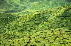Grean Tea (pietkagab) Tags: cameronhighlands teaplantation estate agriculture tea bushes patches hills highlands malaysia tanahrata landscape asia southeast travel trip tourism trekking trek hike hiking adventure sightseeing outdoors patchwork nature