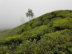 Top station in Munnar: tea plantation in the mist. (Tartarin2009) Tags: india kerala munnar topstation tea teaplantation mist samsunggalaxys7 travel landscape