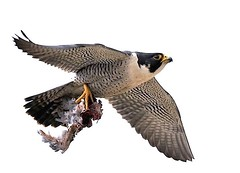 Shredded Prey (Sharpeyesonline) Tags: california male nature flight coastal raptor falcon killed shredded birdofprey peregrine talons plucked peregrinefalcon tiercel partiallyeaten preybird clutched avianexcellence falcoperegrinusanatum willjamessooter wwwsharpeyesonlinecom