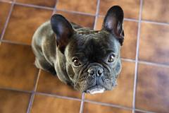 Sweet (Lainey1) Tags: dog face tile pattern sweet sony handsome ears wideangle bulldog upstairs mug frenchie frenchbulldog ozzy muzzle browntile nex5 sonynex5