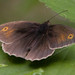 Hook : Meadow Brown (Maniola jurtina)
