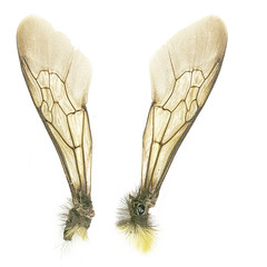 Bumblebee wings - free to use (jinterwas) Tags: insect wings free bumblebee cc creativecommons hommel snip wikimedia vleugels freetouse