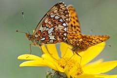 Boloria euphrosyne (Pearl-bordered Fritillary, zilvervlek) (Rob Blanken) Tags: macro butterfly pearlborderedfritillary boloriaeuphrosyne dagvlinders nikond800 zilvervlek zilvervlekboloriaeuphrosyne sigma180mm128apomacrodghsm