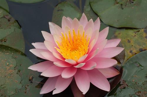 Flickr flower a pink lotus a pink lotus mightylinksfo