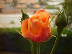 Capullo de Rosa/ Rosebud (Cami : Happiness is contagious) Tags: chile flowers naturaleza flores flower love primavera nature rose spring blossom flor rosa rosebud bouquet capullo laserena florecer