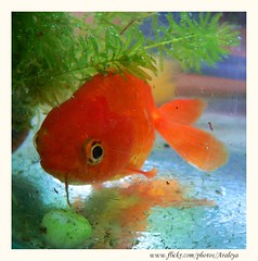 Shy and Hide (Araleya) Tags: red pet fish animal fz20 colorful goldfish joy relaxing happiness shy panasonic hide lovely mygarden gargen secretgarden thialand nonthaburi beautifullife araleya passionphotography leicadigital diamondclassphotographer flickrdiamond