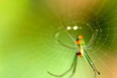 Circle (olvwu | 莫方) Tags: usa macro green ga georgia spider dof web savannah jungpangwu oliverwu oliverjpwu explored olvwu jungpang 莫方 吳榮邦