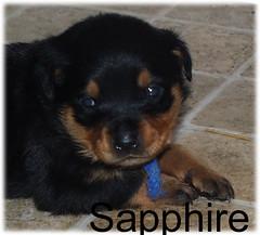sapphire1 (muslovedogs) Tags: dogs puppy rottweiler teaara zeusoffspring