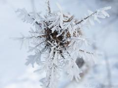 Hoar Frost 2 (Carol-R) Tags: flowers winter flower hoarfrost