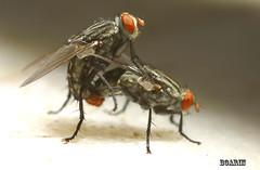 Recomendaes para 2008 (Boarin) Tags: macro moscas insetos