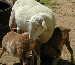 Nursing lambs