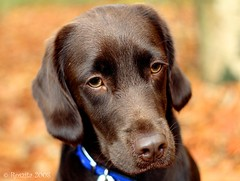 Tessa (Roszita) Tags: dog brown beautiful puppy furry labrador chocolate canine tessa k9 mywinners abigfave aplusphoto diamondclassphotographer scarletrose77