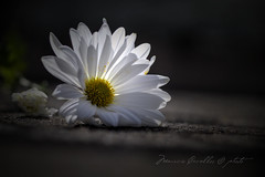 LISAS FOR MARGARITA (mauricio cevallos www.mauriciocevallos.com) Tags: white flower blanco flor margarita ligth magical diamondclassphotographer archivofotograficoecuatoriano
