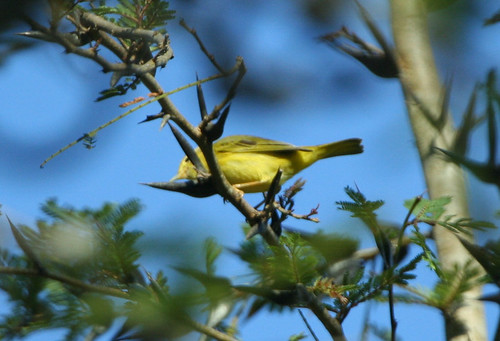 Golden Vireo by Loch Kilpatrick.