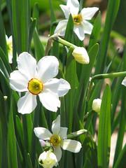 Poet's daffodils