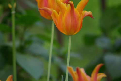 orange tulips, istanbul tulip festival, istanbul, pentax k10d