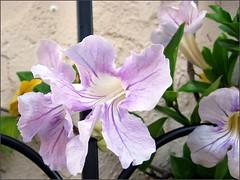 Flowering trumpet vine
