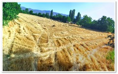 After Harvest (Ahmet Okkol) Tags: field yellow wide harvest 2008 sar tarla ekin factorx hasat buday geni okkol thebestofday gnneniyisi flickrlovers