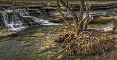 Fingers (keith_shuley) Tags: bullcreek water waterfall austin texas roots stream creel olympus