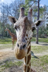 face to face (ucumari photography) Tags: ucumariphotography riverbankszoo columbia sc south carolina february 2017 giraffe animal mammal dsc6904