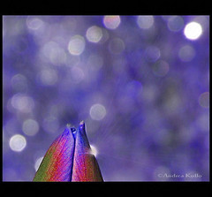 Oh Happy Day (Andrea Kollo Photography) Tags: toronto ontario canada macro nature interestingness nikon bokeh explore tulip flowerprint floralprint naturephotography natureart nikoncamera floralprints naturephoto goldengarden nikond200 explored tulipmacro ontariophotographer natureprint nobleton kingtownship flowerprints nikonphotography bluebokeh naturephotograph tulipbokeh naturecards natureprints naturecard tulipprints blipfree andreakollo springhillphotography andreakollophotography winksplace andreakollophotographer naturegreetingcards wwwandreakollophotographycom naturegreetingcard floralartprint flowerartprint flowerartprints tulipprint andreakolloontariophotographer bokehprint bokehprints nobletonkingtownship kingtownshipgardens nobletongardens