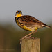 4-30-11 Eastern Meadowlark giving me the evil eye