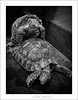 Love is in the... ground (cesarmarch) Tags: fauna pen amor olympus bn turtles tortugas ep1 reptil 17mm coito cesarmarch wwwcesarmarchcom
