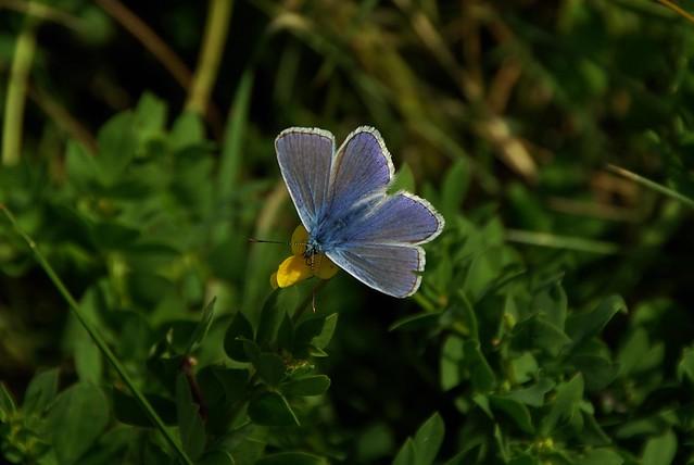 Common Blue - Male 2
