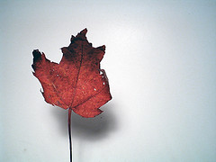 Red Leaf No. 1 - Grace (minivan cooley) Tags: blue autumn red fall vertical season leaf oneleaf stem warm dry dancer grace spotlight minimal bow simplicity curl simple graceful challengeyou flickrchallengegroup 15challenges weekendshowcase