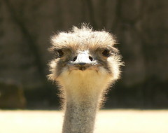 Ostrich At Very Close Range! - Or Are You staring at me? (ianmichaelthomas) Tags: friends birds ostrich melbournezoo smrgsbord royalmelbournezoo flightlessbirds struthioniformes largebirds animaladdiction animalcraze worldofanimals auselite parkvillevictoriaaustralia itsazoooutthere flickrlovers vosplusbellesphotos