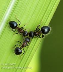 Charmed :-) Three ants... DSC_6497 (Kurt (OrionHerpAdventure.com)) Tags: hairy black macro green insect three furry funny pattern heart butts ants tiga macromundo specinsect macromix buzznbugz wonderfulworldmix