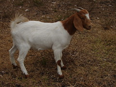 Rojo cutie pie! (Texas to Mexico) Tags: ranch red white boer furry texas goat herd nubian knippa uvaldecounty