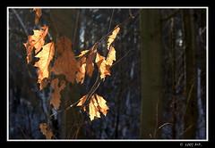 The golden leaves (Mariusz Petelicki) Tags: autumn leaves poland polska hdr jesie licie canon400d mariuszpetelicki